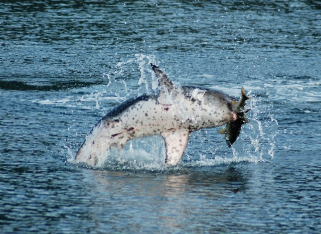 salmon shark jumping sm
